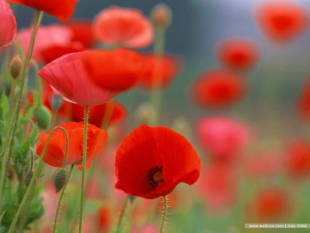 虞美人llcoo]_Poppy_flower_wallpaper_EA52025_缩小大小.jpg